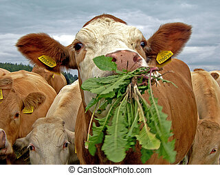 Cows - Cow is eating dandelion leaves in the pasture...
