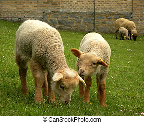 Twin lambs - Two cute lambs playing with each other