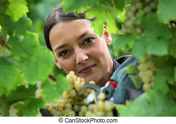 female wine producer  cropping grapes