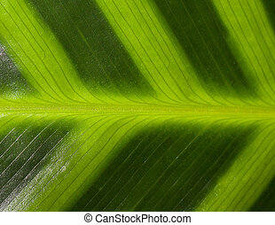 heliconia leaf pattern - closeup of a heliconia leaf pattern