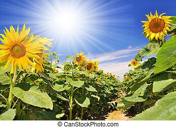 sunflower field - Summer sun over the sunflower field