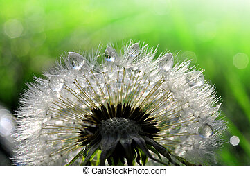 dewy dandelion closeup