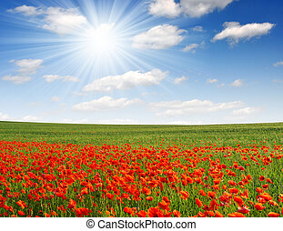 Red poppy field with blue sky