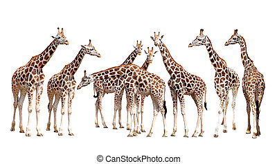 giraffes isolated - herd of giraffes isolated