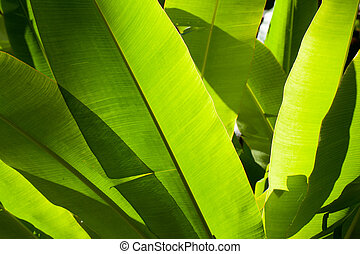 banana leaves backlit by the sun background