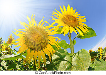 sunflower field - Summer sun over the sunflower field