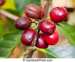 coffee berries - growing coffee berries on a branch