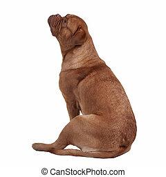 French Mastiff sitting isolated