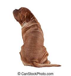 Dogue De Bordeaux rear view with face turned aside, isolated