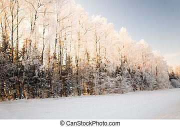 Winter wood - The trees covered with snow in a winter season...