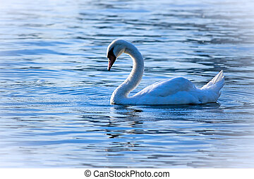 Swan Lake - A swan enjoys the day in Ontario Lake, Canada