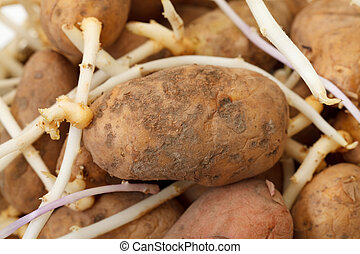photo of sprouting potatoes, closeup