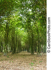 Bamboo trees growing in tranquil forest,Thailand