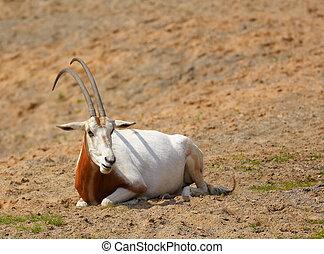 Oryx dammah - Scimitar-horned Oryx Oryx dammah resting under...