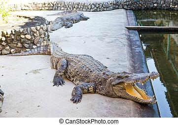 Dangerous crocodile open mouth - Dangerous crocodile open...