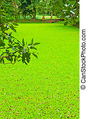 A pond of water lettuce - The pond of water lettuce in...
