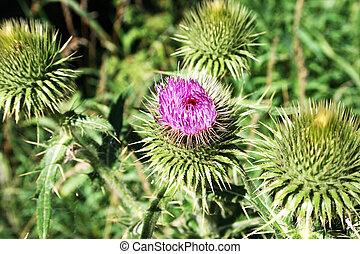 Thistle flower in mountain meadow