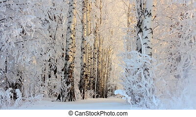 winter frozen birch woods in morning light