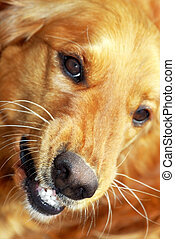 Dog portrait - angry orange golden retriever dog portrait...