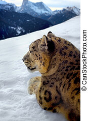 photomontage, neve, Leopardo