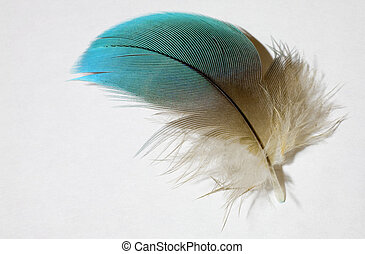 Parrot feather - Blue and yellow feather on white from a...