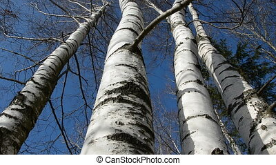 birches and camera rotate - birches in the March and camera...
