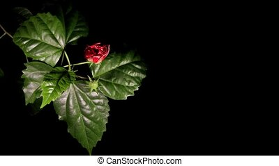Blooming red roses on a black background Hibiscus...