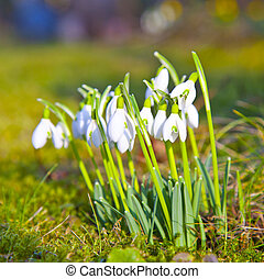 snowdrops in the grass, selective focus