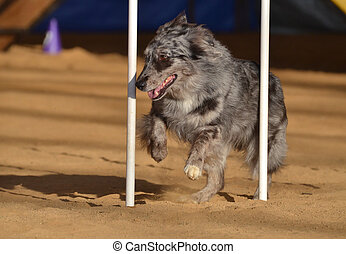 Australian Shepherd (Aussie) at a Dog Agility Trial -...