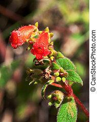 Kohleria Kohleria spicata Blossoms, Arenal Volcano National...