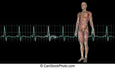 human body - male lay figure and electrocardiogram