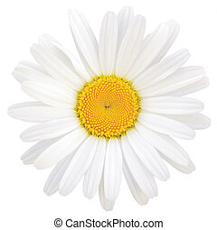 Oxeye Daisy Leucanthemum vulgare Lam. Isolated Macro Closeup...
