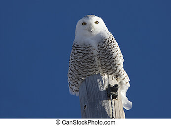 Snowy Owl Perched in Saskatchewan Canada in Winter