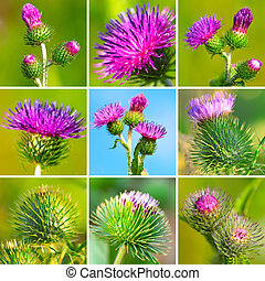 assortment of bur thorny flower Arctium lappa