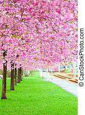 blossoming tree in spring on green grass (Sakura tree pink...