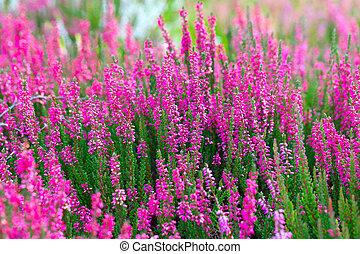 Cor-de-rosa, foto,  springtime, Ao ar livre, flores