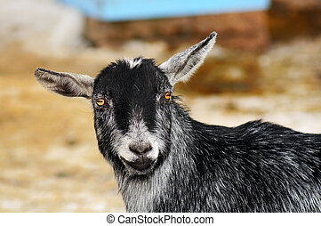 Funny looking goat - Portrait of a happy funny looking goat...