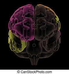 Areas of the Brain, front view - 3D Render. Coloured areas...