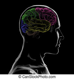 Right-side of the head and Brain - 3D Rendering of...
