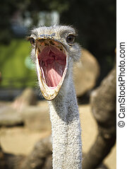 Close up portrait of ostrich , with beak open