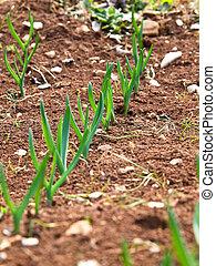 green plant - stone leek in the field