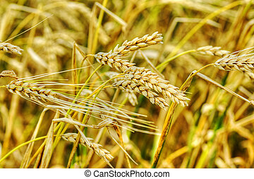 Golden ears of wheat
