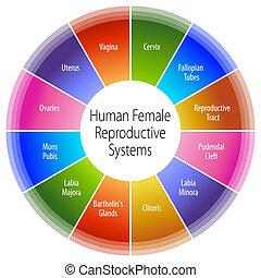 menschliche, weibliche, reproduktiv, Systeme, Tabelle