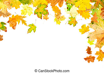 Autumn Leaves - Falling oak and maple leaves on white...