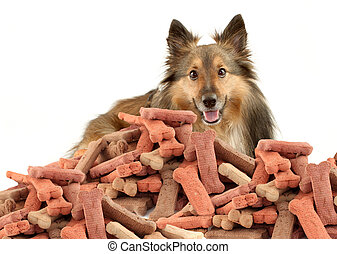Sheltie and dog biscuits - Sheltie or Shetland Sheepdog...