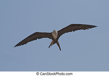 Frigate bird in the sky - Frigate bird with immense wing...