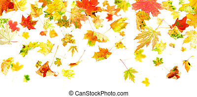 Falling Leaves - Autumn Maple Leaves falling and spinning...