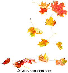 Falling Maple Leaves - Autumn leaves falling to the ground