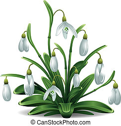 Snowdrops - First spring flowers, snowdrops Beautiful vector...