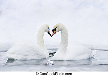 Couple of swans forming heart - Couple of swans forming in...